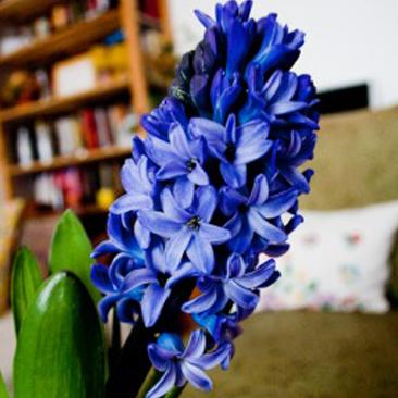 Tavaszvárás – virág a lakásban